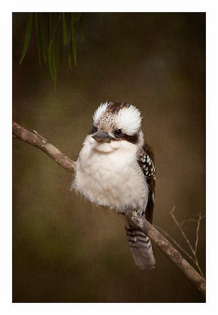 Kookaburra, Margaret River WA