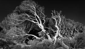 Melaleuca Trees Yallingup Beach