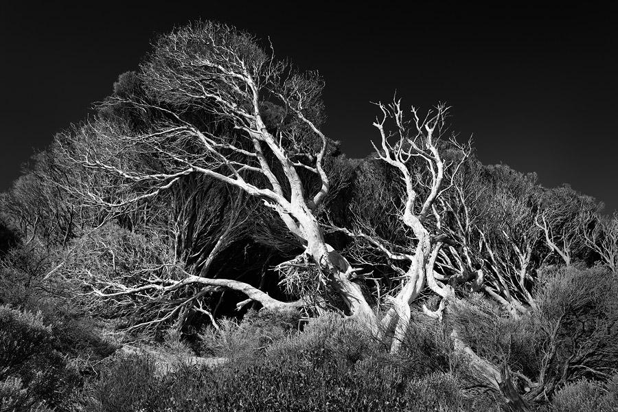 Melaleuca tree, Western Australia